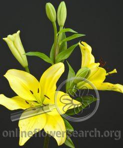 Lily LA Hybrid Pavia