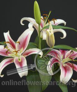 Lily Oriental Candy Club