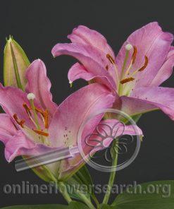 Lily Oriental Gerez