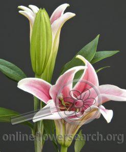 Lily Oriental Marlon