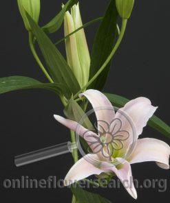 Lily Oriental All Star