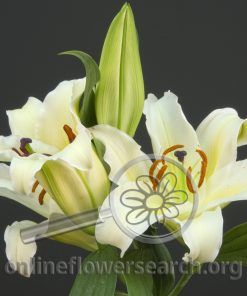 Lily Oriental Cherbourg