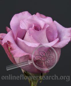 Rose Carlita