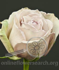 Rose Something Special