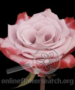 Rose Rockfire