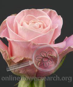 Rose Hermosa+