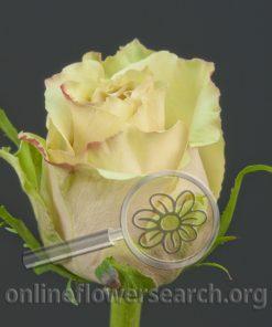 Rose Lamu