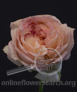 Rose Angie Romantica