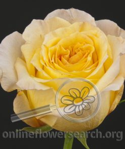 Rose Arietis