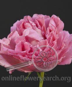 Rose Cepheus