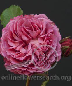 Spray Rose Agnes Schilliger
