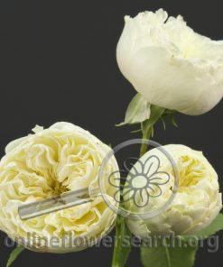 Spray Rose Antique Romantica (aka Purity)