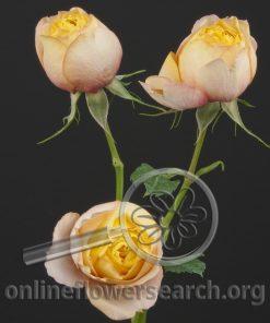 Spray Rose Baby Romantica
