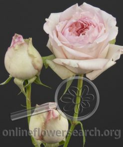 Spray Rose Carmeline