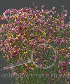 Limonium Sinensis Dark Pink