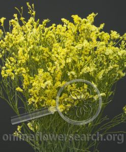 Limonium Yellow (Dyed)