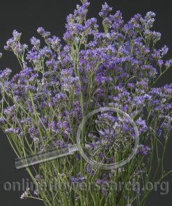 Limonium Ohio Blue