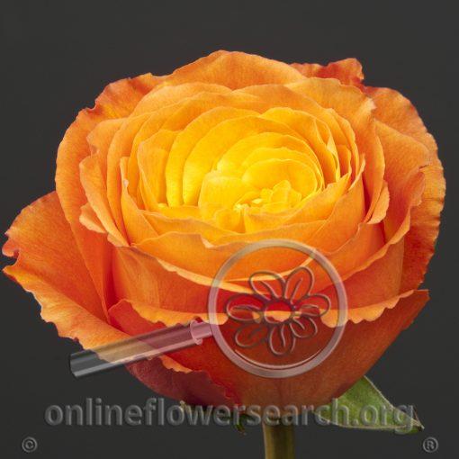Rose Soleil