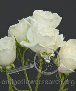 Spray Rose Alaska