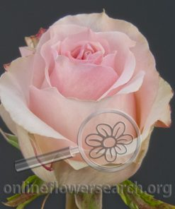 Rose Girlfriend