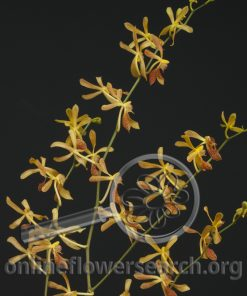 Aranthera James Storie Yellow