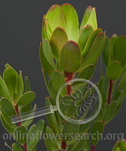 Leucadendron Green Rose