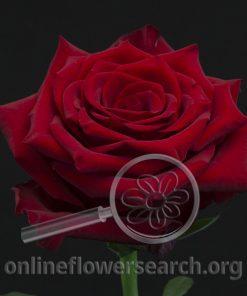 Rose Explorer