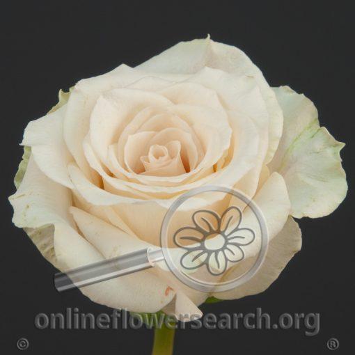 Rose Corina