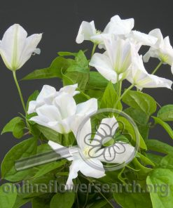 Clematis White
