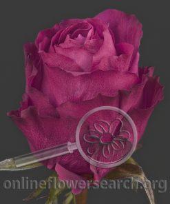 Rose Purple Power