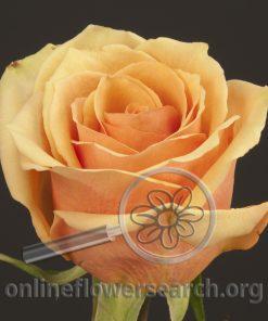 Rose Irina