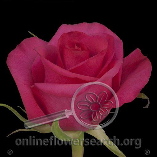 Rose Hot Paris