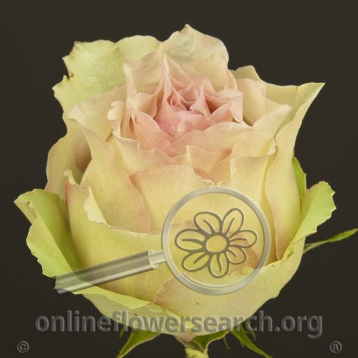 Rose Dreamland