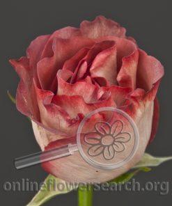 Rose Choco Garden