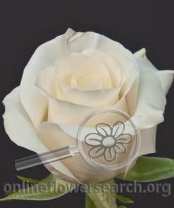 Rose Good Luck
