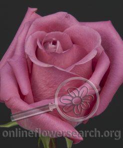 Rose Avatar