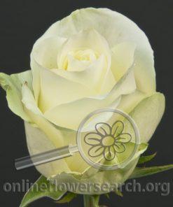 Rose High & Ursuss