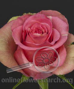 Rose Larimar