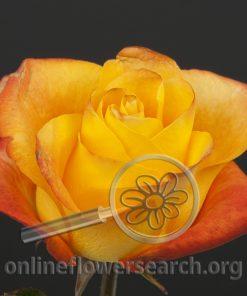 Rose Amazing (aka Twitter)