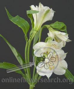 Alstroemeria Whistler