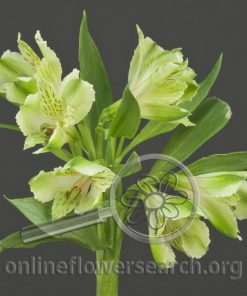 Alstroemeria Green Day