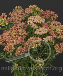 Yarrow Cottage Peach