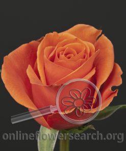 Rose Cayenne
