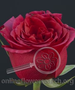 Rose Queenberry
