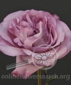 Rose Plum Brûlée