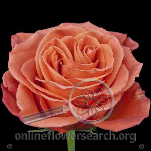 Rose Orange Crush