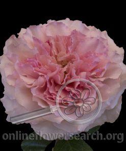 Rose Mayra's Rose Pink
