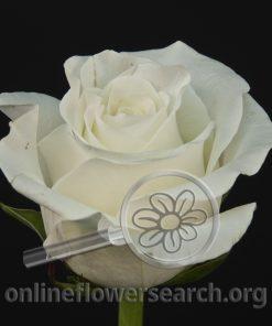 Rose Avrora (Aurora)