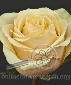 Rose Pistacho