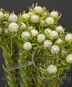 Leucadendron Jade Pearl
